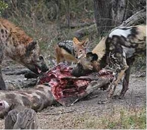 african-wild-dog-and-black-backed-jackals